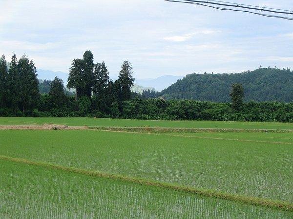 今朝の魚沼産コシヒカリの田んぼ