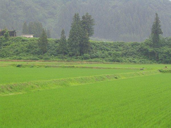 魚沼産コシヒカリの田んぼは朝から雨です