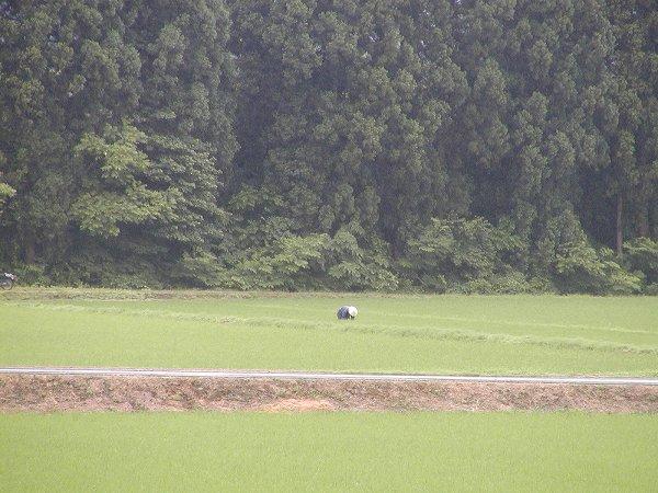 雨降りの中、田んぼで作業をしている人