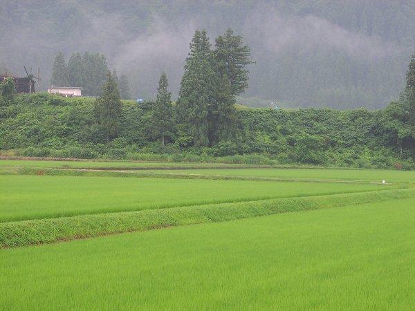 魚沼産コシヒカリの田んぼは雨降りで蒸し暑く感じます
