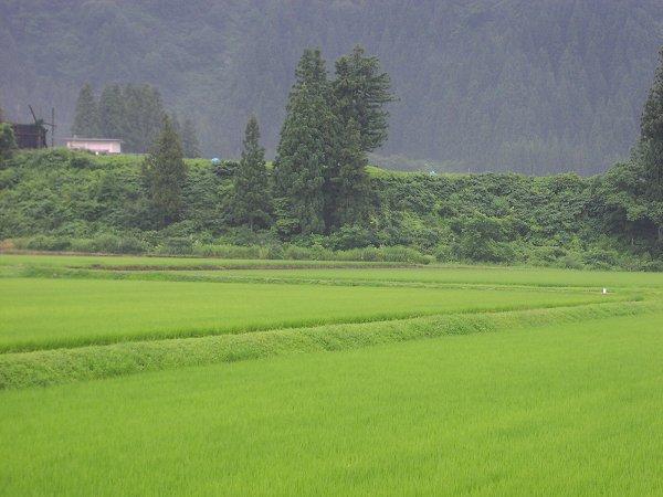 今朝は雨でジメジメしています - 魚沼産コシヒカリの田んぼ@新潟県南魚沼市