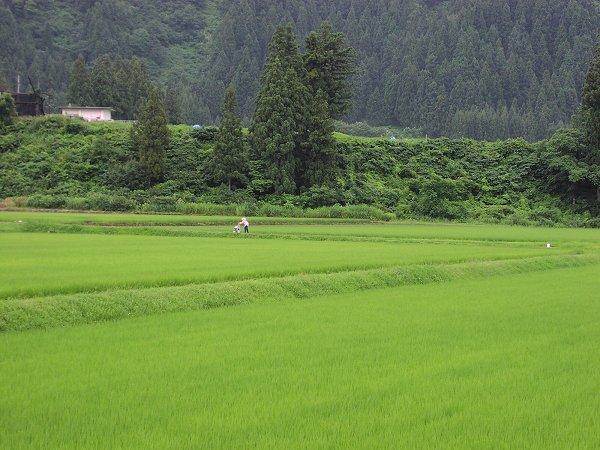 土砂降りの雨が降りました - 魚沼産コシヒカリの田んぼ@新潟県南魚沼市