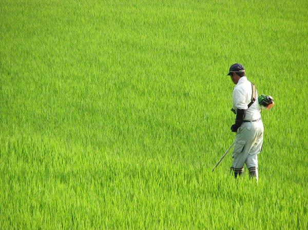 田んぼの畦で草刈りをする人
