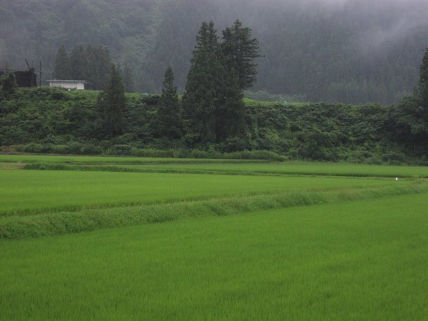 8月初日もまた雨降りです - 魚沼産コシヒカリの田んぼ@新潟県南魚沼市
