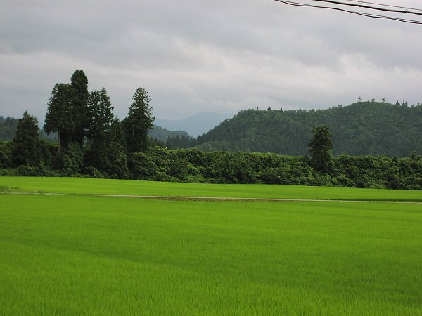 今日もまたよく雨が降りました - 魚沼産コシヒカリの田んぼ@新潟県南魚沼市