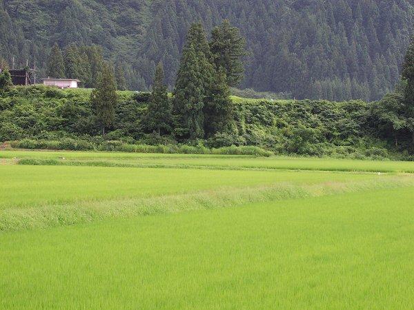 今日もまた雨が降りました - 魚沼産コシヒカリの田んぼ@新潟県南魚沼市