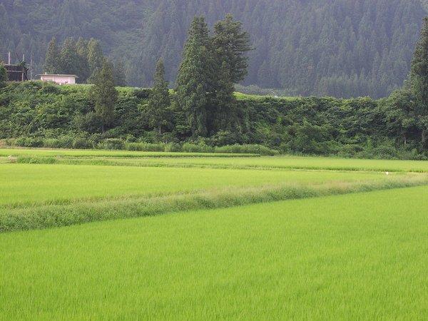 涼しくて爽やかな朝です - 魚沼産コシヒカリの田んぼ@新潟県南魚沼市