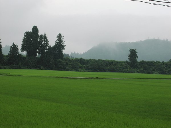 雨上がりの涼しい朝です - 魚沼産コシヒカリの田んぼ@新潟県南魚沼市