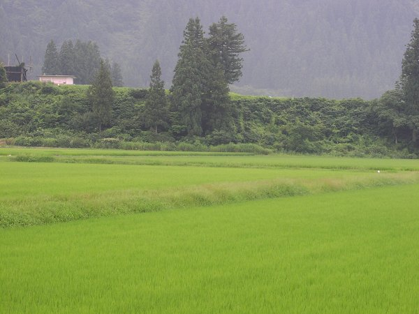 魚沼産コシヒカリの田んぼはようやく夏らしい暑さになりました