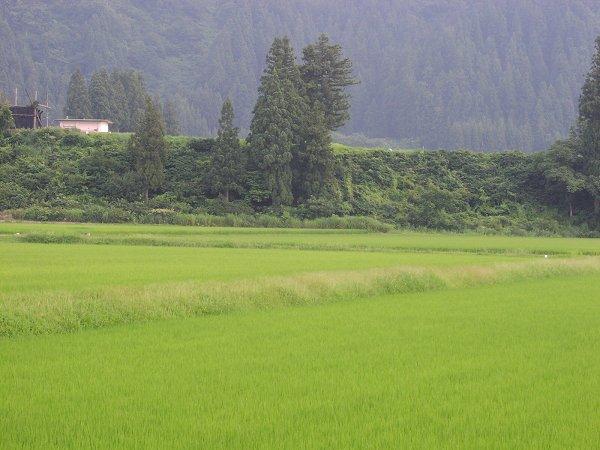 魚沼産コシヒカリの田んぼはこの夏いちばんの暑い一日でした