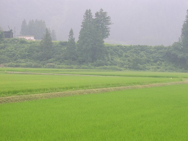 朝から蒸し暑いです - 魚沼産コシヒカリの田んぼ@新潟県南魚沼市