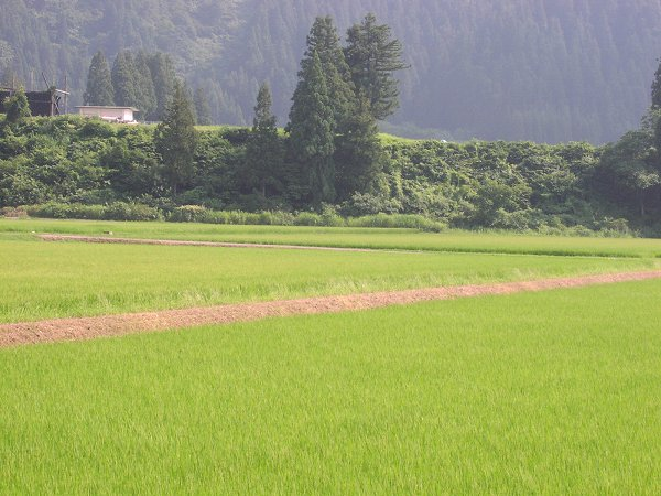 今日も暑いです - 魚沼産コシヒカリの田んぼ@新潟県南魚沼市
