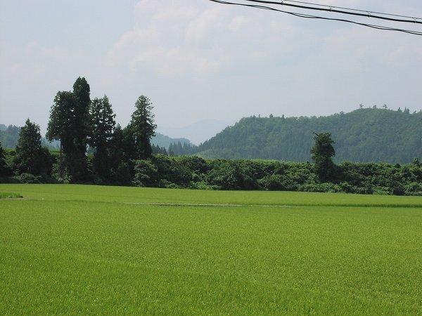 猛烈な暑さではなくなっています - 魚沼産コシヒカリの田んぼ@新潟県南魚沼市
