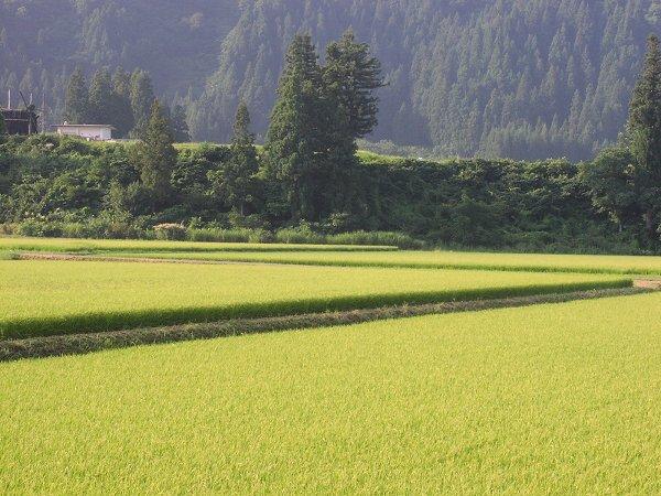 朝日が心地よく感じるようになってきました - 魚沼産コシヒカリの田んぼ@新潟県南魚沼市