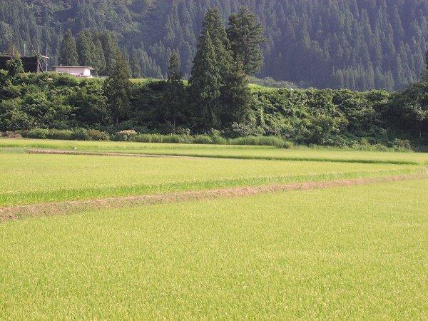 きびしい残暑の一日です - 魚沼産コシヒカリの田んぼ@新潟県南魚沼市