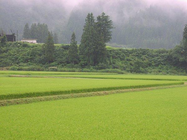 久しぶりに雨が降りました - 魚沼産コシヒカリの田んぼ@新潟県南魚沼市