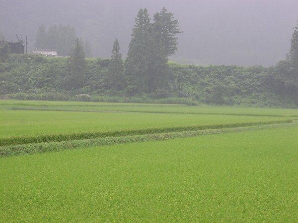 今朝もまた雨・・・強く降ってきました - 魚沼産コシヒカリの田んぼ@新潟県南魚沼市