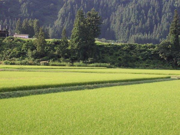 今日も涼しくて爽やかな朝を迎えています - 魚沼産コシヒカリの田んぼ@新潟県南魚沼市