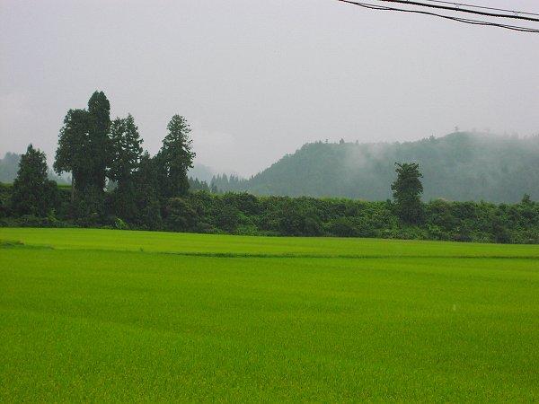 今日は雨でむしむしします - 魚沼産コシヒカリの田んぼ@新潟県南魚沼市