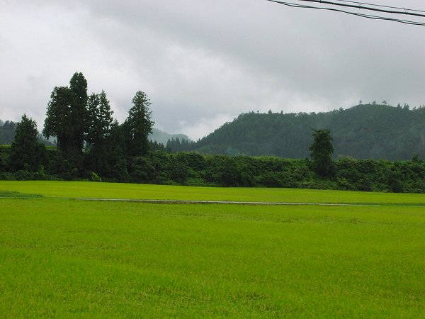 今日は雨降りで気温が低いです - 魚沼産コシヒカリの田んぼ@新潟県南魚沼市