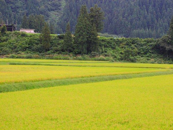 雨が降ってきそうな雲行きです - 魚沼産コシヒカリの田んぼ@新潟県南魚沼市