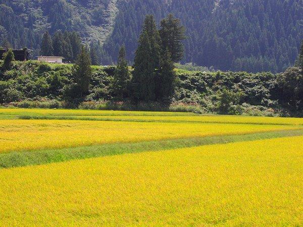 日射しが強くなってきました - 魚沼産コシヒカリの田んぼ@新潟県南魚沼市