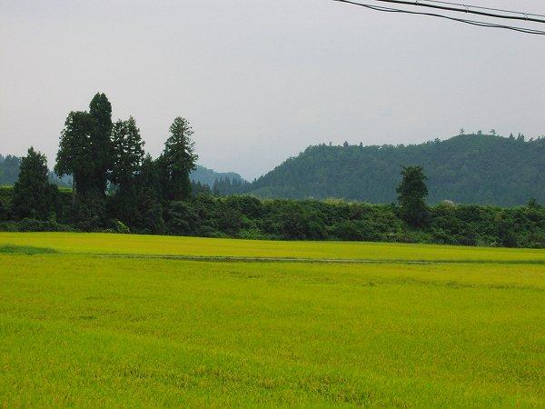 今日はくもりで涼しいです - 魚沼産コシヒカリの田んぼ@新潟県南魚沼市