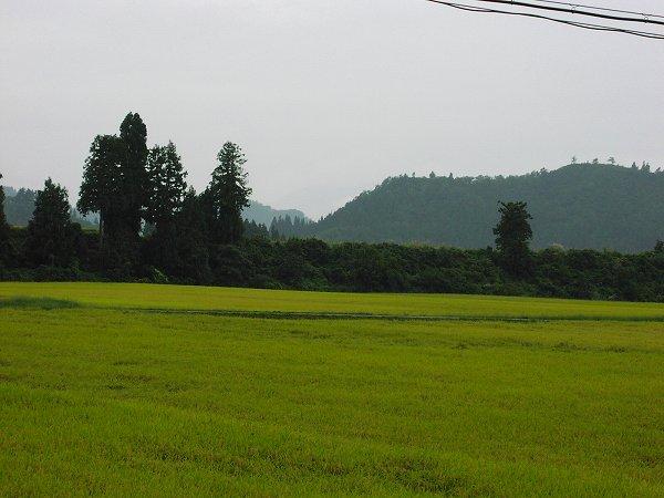 弱い雨降りで蒸したかんじがします - 魚沼産コシヒカリの田んぼ@新潟県南魚沼市