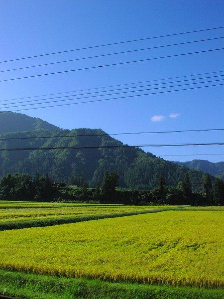 澄んだ青空が広がっている台風一過の朝 - 魚沼産コシヒカリの田んぼ@新潟県南魚沼市