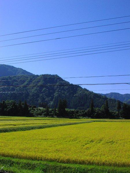 爽やかな秋晴れの朝です - 魚沼産コシヒカリの田んぼ@新潟県南魚沼市