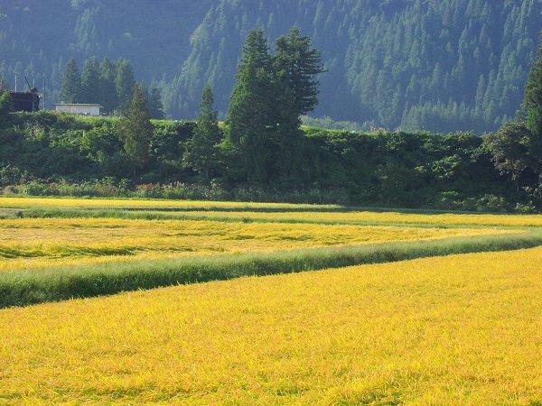 今日もいい天気・・・そろそろ稲刈りが始まります - 魚沼産コシヒカリの田んぼ@新潟県南魚沼市