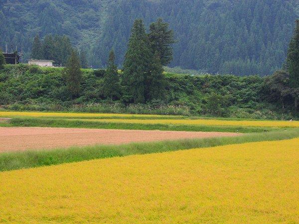 今日はくもり・・・稲刈りが行われています - 魚沼産コシヒカリの田んぼ@新潟県南魚沼市