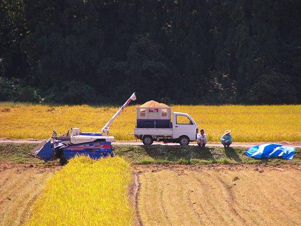 陽ざしが強い中で稲刈り作業が行われています - 魚沼産コシヒカリの田んぼ@新潟県南魚沼市