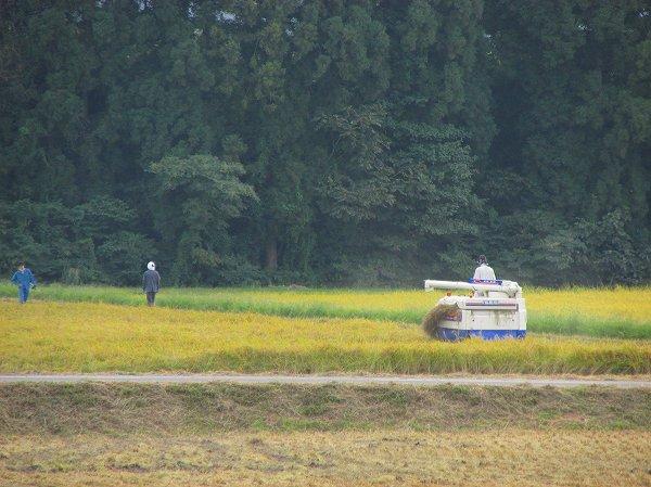 天候に恵まれて稲刈り作業が順調に進んでいます - 魚沼産コシヒカリの田んぼ@新潟県南魚沼市