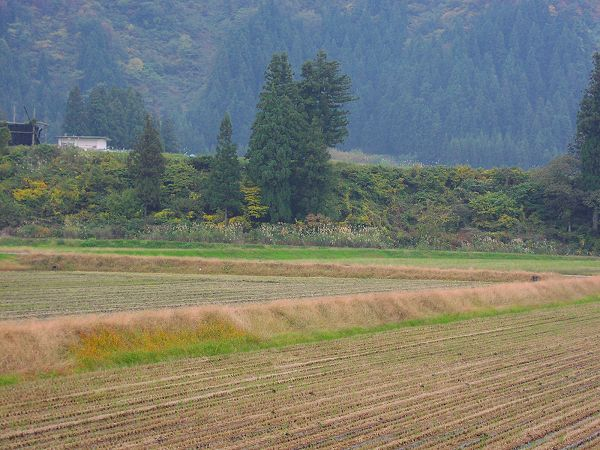 今日、トラクターが田んぼを耕していました