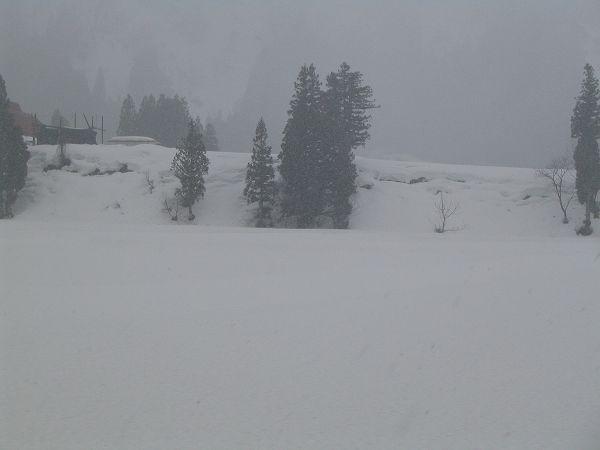 今朝の魚沼産コシヒカリの田んぼは湿った雪が降っています