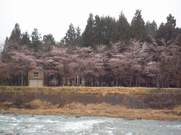 雨の日の水無川の土手の桜