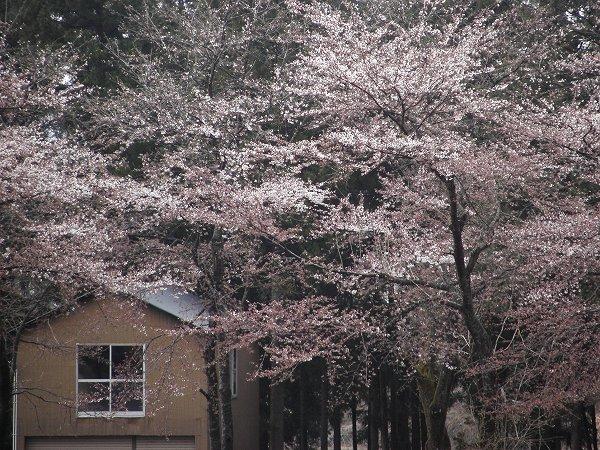 咲き始めた水無川の土手の桜