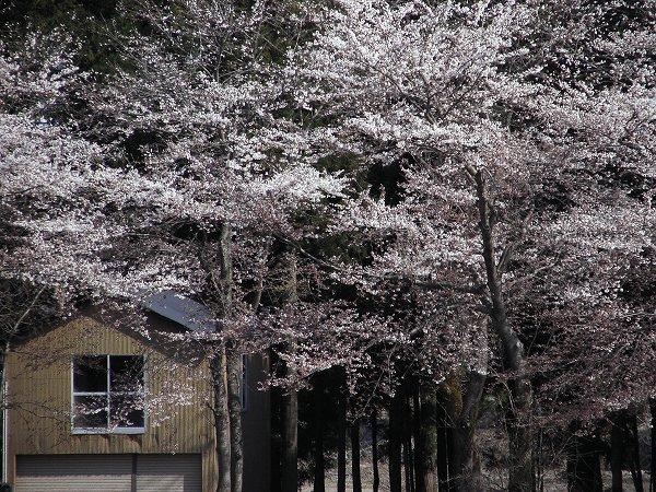 水無川の土手で桜の開花が進んでいます
