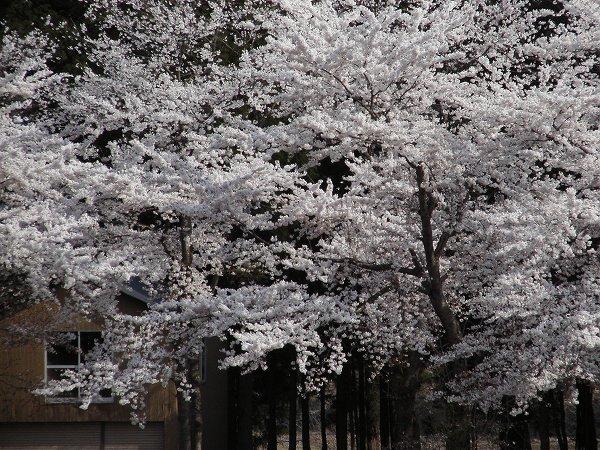 いい天気が続いて桜を楽しんでいます