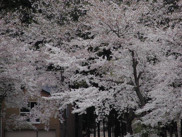 水無川の土手では桜がだんだん葉桜になってきました