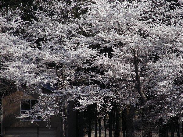 水無川の土手では桜が満開を迎えています