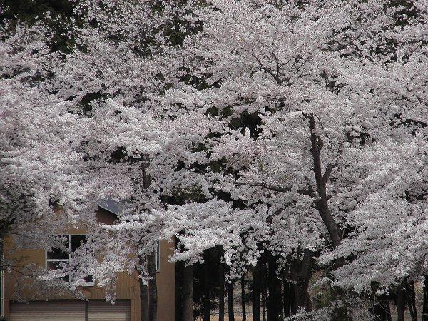 水無川の土手の桜が満開となって、だんだん散り始めています