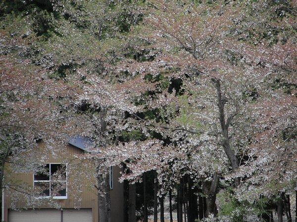 水無川の土手では桜がすっかり葉桜になってしまいました