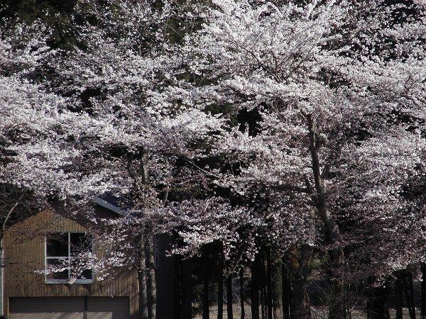 水無川の土手の桜がもうすぐ満開です