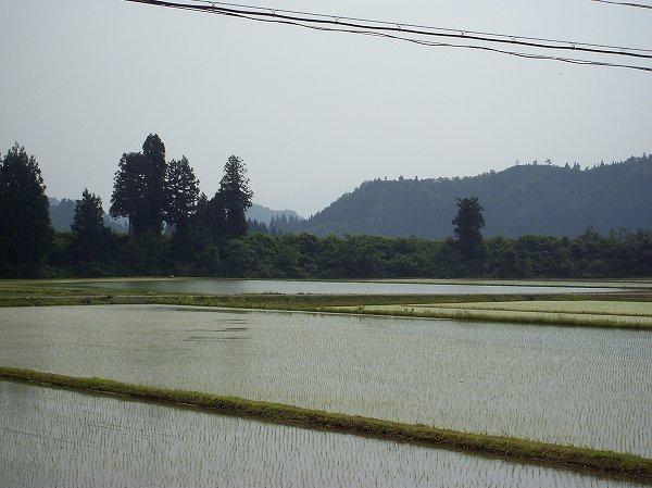 魚沼産コシヒカリの田んぼはすっかり夏になったような暑さです