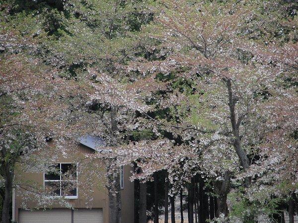水無川の土手の桜はすっかり葉桜になってしまいました