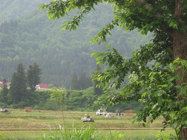 黒土の田んぼは今日が田植え作業のピークです