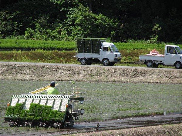 魚沼産コシヒカリの田植え作業