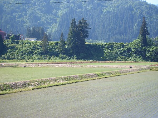 魚沼産コシヒカリの田んぼは天気がよくて朝から暑いです